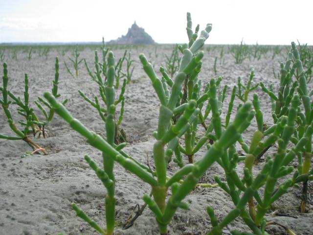 La Salicorne - plante halophile comestible -